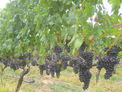 Truro grapes