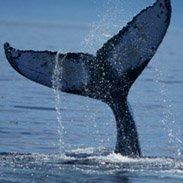 Cape Cod whale tail